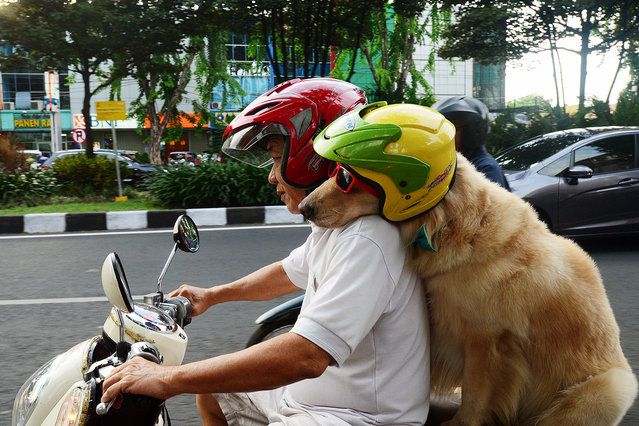 Pooches Ride on Owners Moped in Indonesia