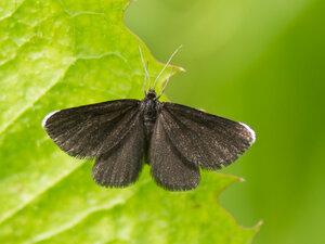 s:дневные бабочки,c:черные,c:c белыми полосками