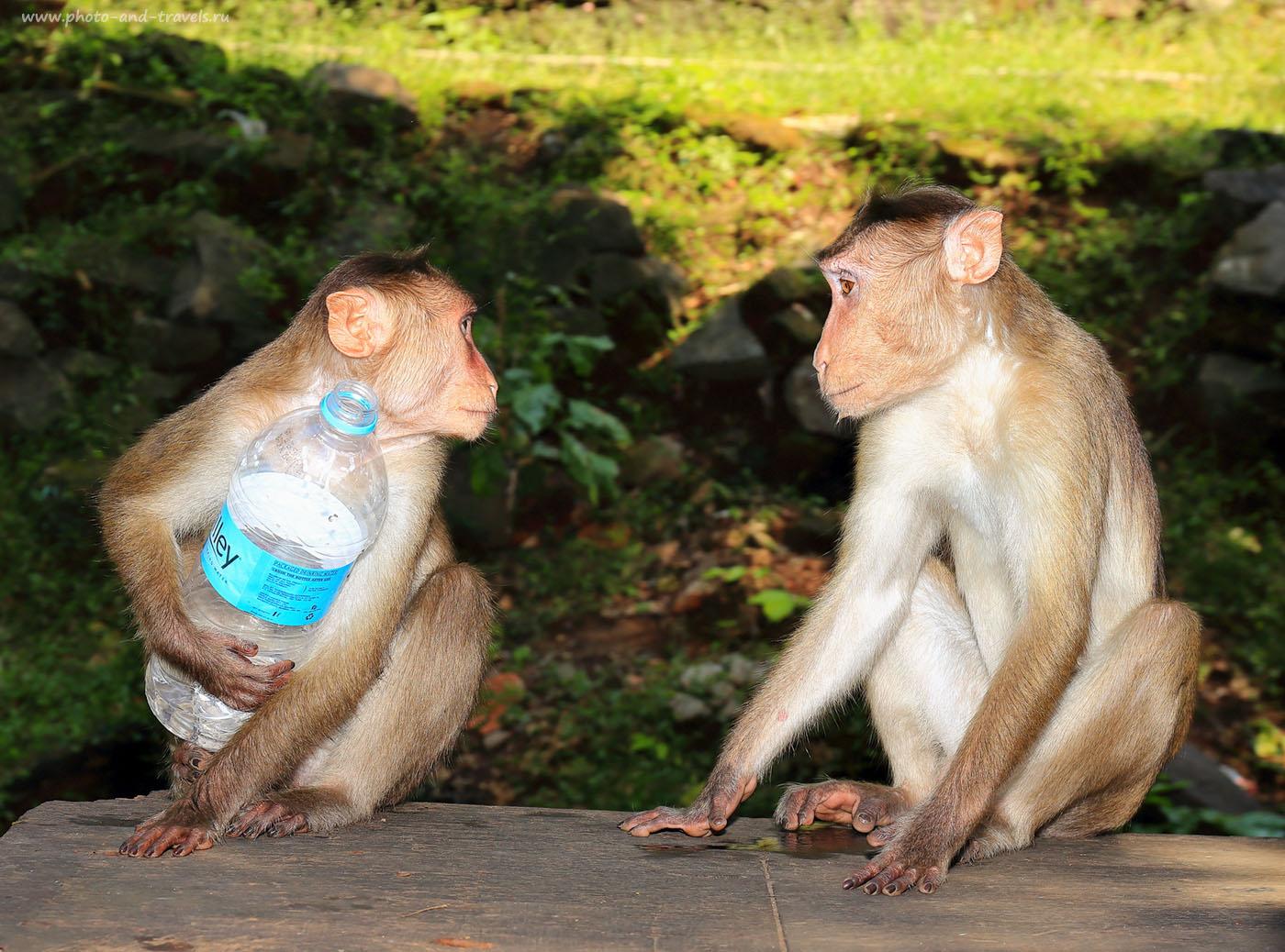6. Обезьяны на острове Элефанта. Отчет об экскурсиях в Мумбаи. Отзывы туристов о самостоятельной поездке в Индию (24-70, 1/60, 0eV, f9, 61 mm, ISO 100. Вспышка)