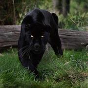большая кошка