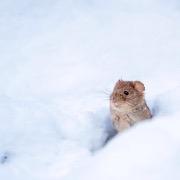 Мышь в сугробе