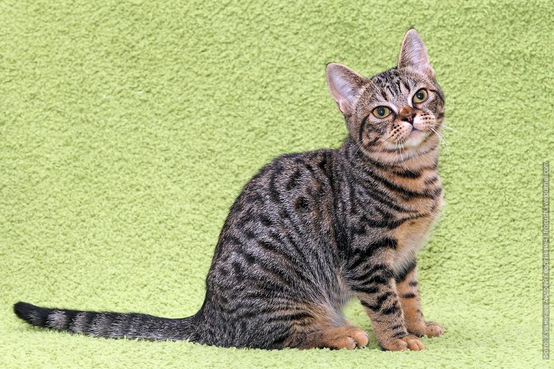 Бомбейский котенок нетрадиционный продажа