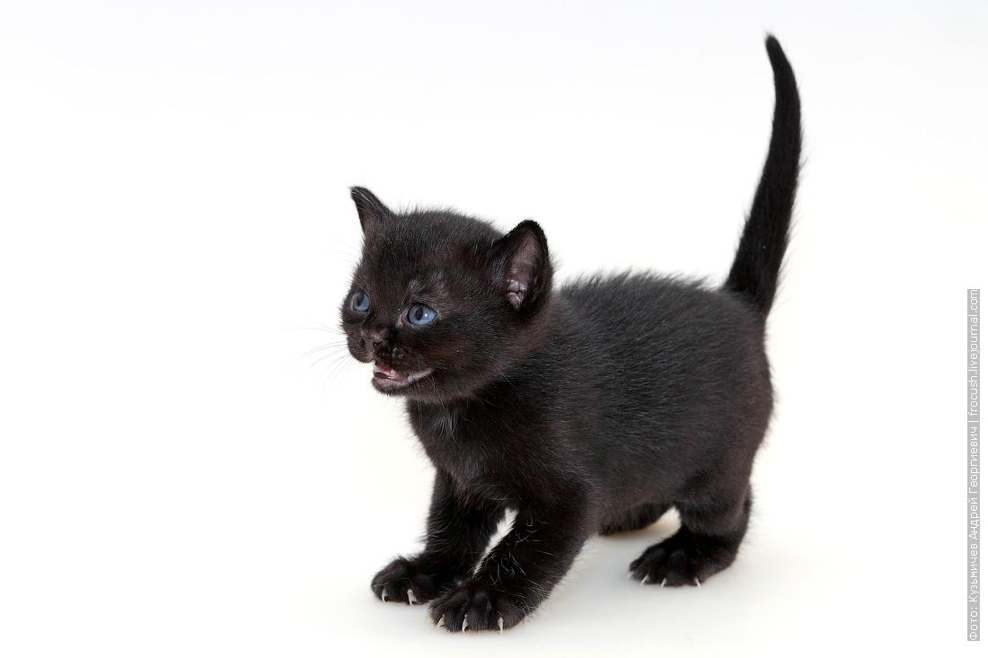 фото котенок Бомбейской кошки