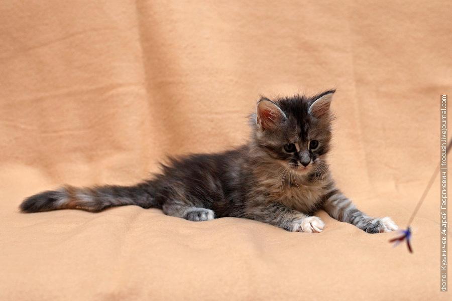 фотография котенка Мейн кун