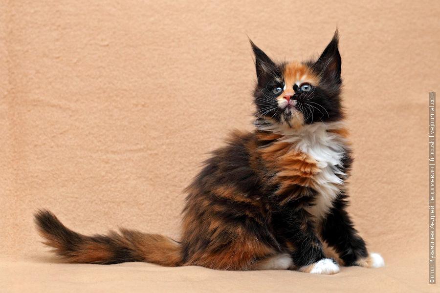фото котенка мен кун
