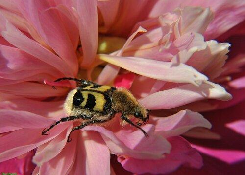 Восковик перевязанный (обыкновенный) / Trichius fasciatus