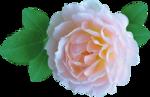 матер-роза.png