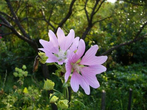 Сад и огород: Мои цветы (МНОГО фото)