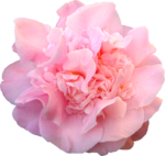 sd_heartsong-flower5.png