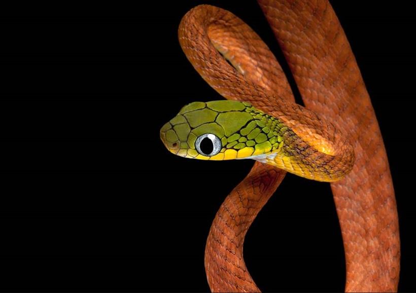 Пугающие фотографии змей 0 134ab9 af7fad1a orig