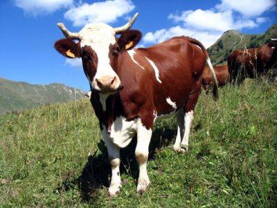 уход за коровой