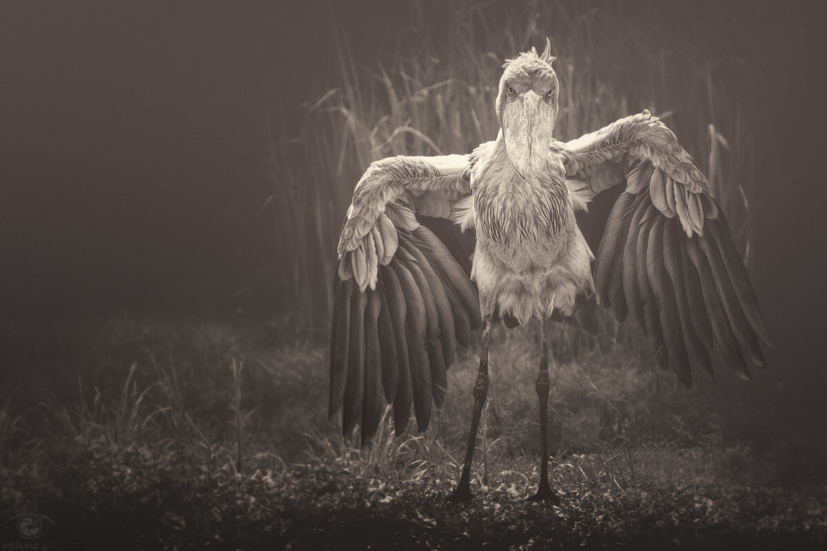 If I have ever seen magic, it has been in Africa (John Hemingway)!The shoebill is one of the most sought after bird in Africa. A most amazing bird with prehistoric looks – its height of up to 150 centimeters (5 feet) and weighs up to 14 pounds – a mos