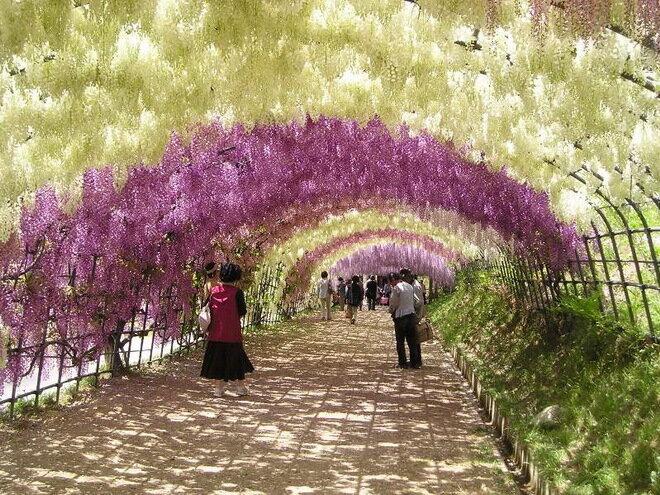 Сад Кавачи Фудзи (Kawachi Fuji Garden). Япония