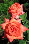 Роза чайно-гибридная Вайлдфайе (Wildfire) Jackson & Perkins 2005 Питомник Barni Посадка март 2014