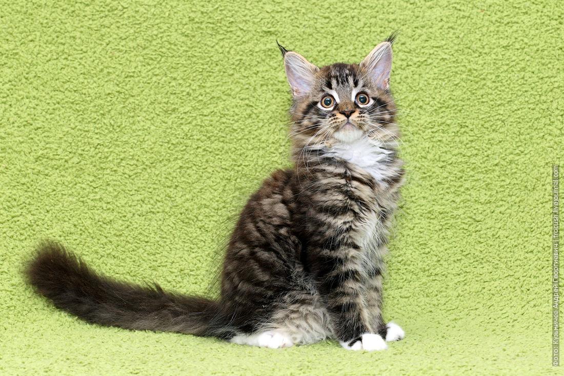 котенок Мейн-кун из питомника продажа