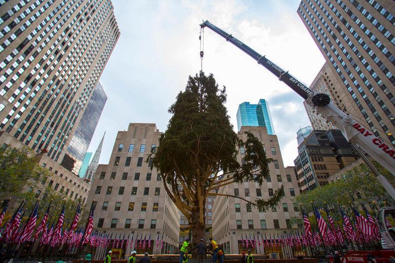 В Нью-Йорк привезли и установили огромную рождественскую ёлку!