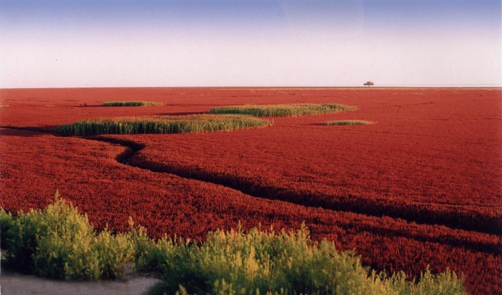 chinatouradvisors Пляж под городом Паньцзинь знаменит навесь мир своим необычным красным цветом. Де