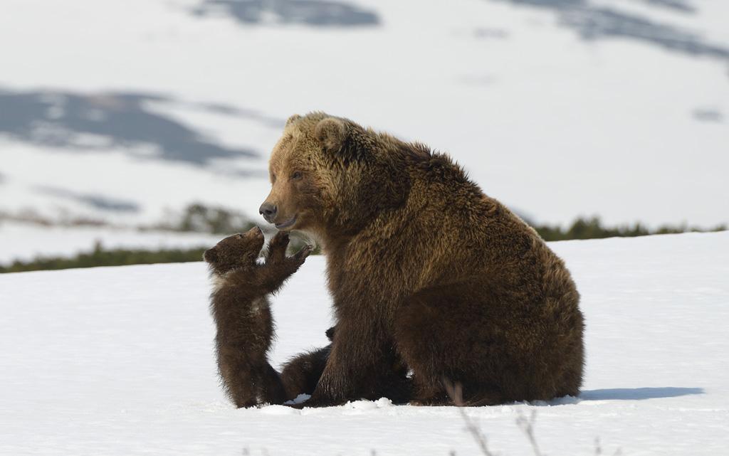 «Дмитрий Шпиленок снимает первые кадры фильма. Выход медвежат из берлоги длится всего несколько
