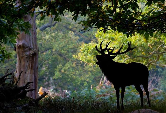 Благородный олень скрывается среди тени деревьев.