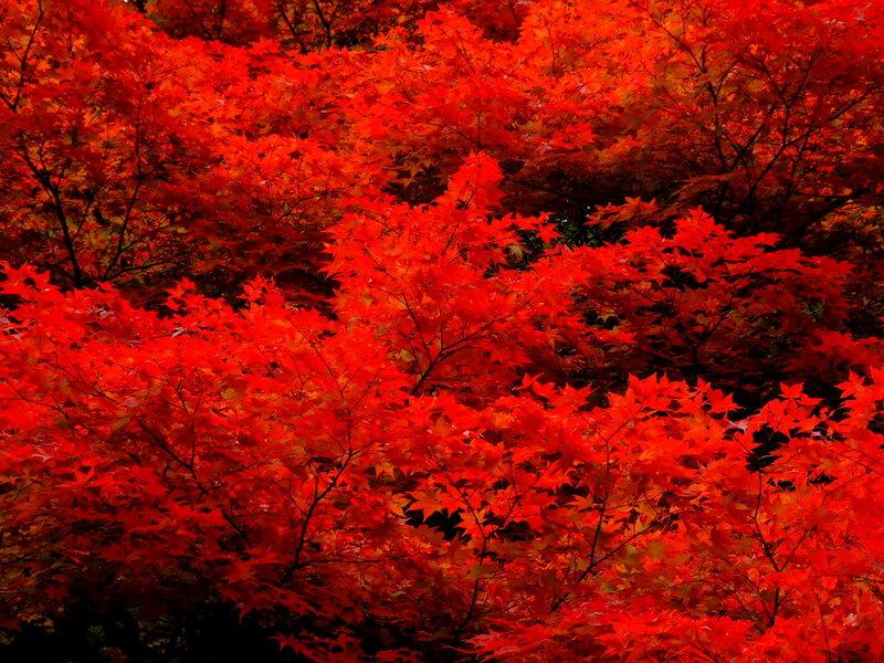 Японская осень - как гейша в ярком кимоно