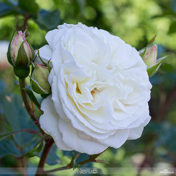Я люблю все цветы, выпуск 115 | Роза - «Королева цветов». | «Osiria» и белая