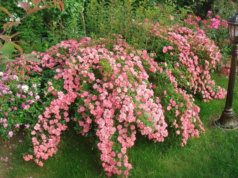 Восторг от красоты! Еще один сад роз в Подмосковье