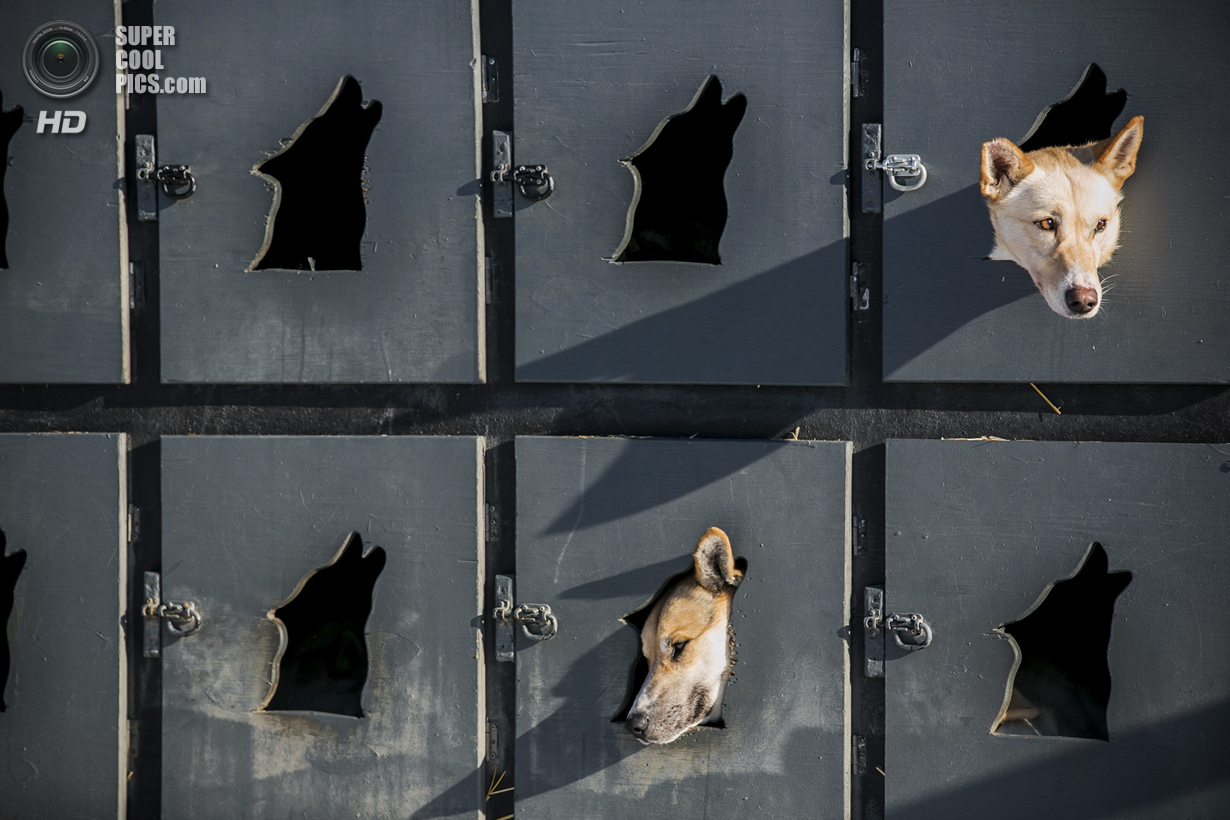 США. Уиллоу, Аляска. 2 марта. Собаки Джастина Савидиса отдыхают в своих будках перед рестартом. (REU