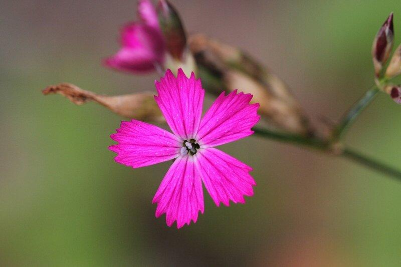 Цветок гвоздики в Медведском бору