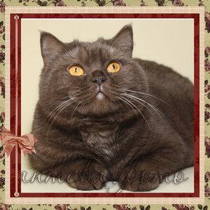 БравоБРИ Юрюзань bs22 британская короткошерстная кошка лилового серебристого мраморного окраса
