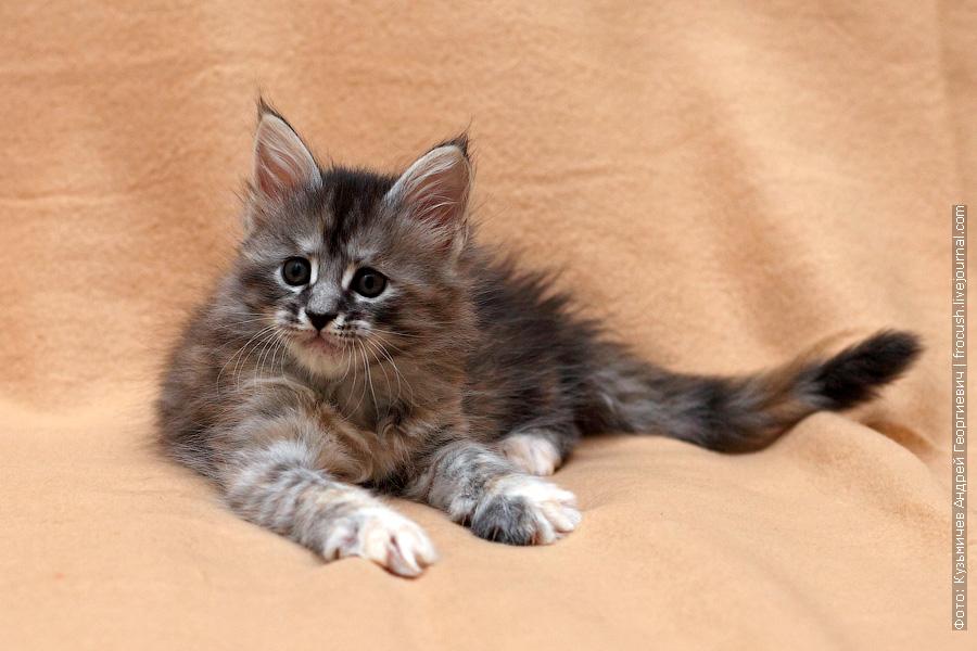 фото котенок Мейн кун