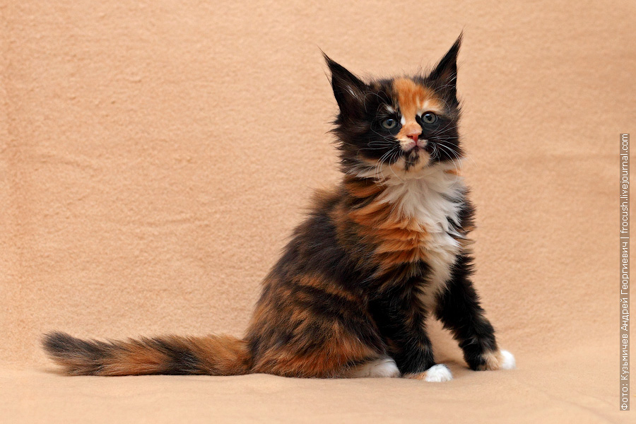 фотографии котенка мейн кун полтора месяца