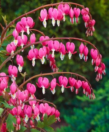Многолетние цветы, переносящие жар-Разбитое сердце или Сердце Марииу