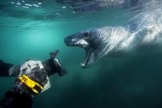 Морской леопард убивает пингвина в водах Антарктики. Подводные фотографии