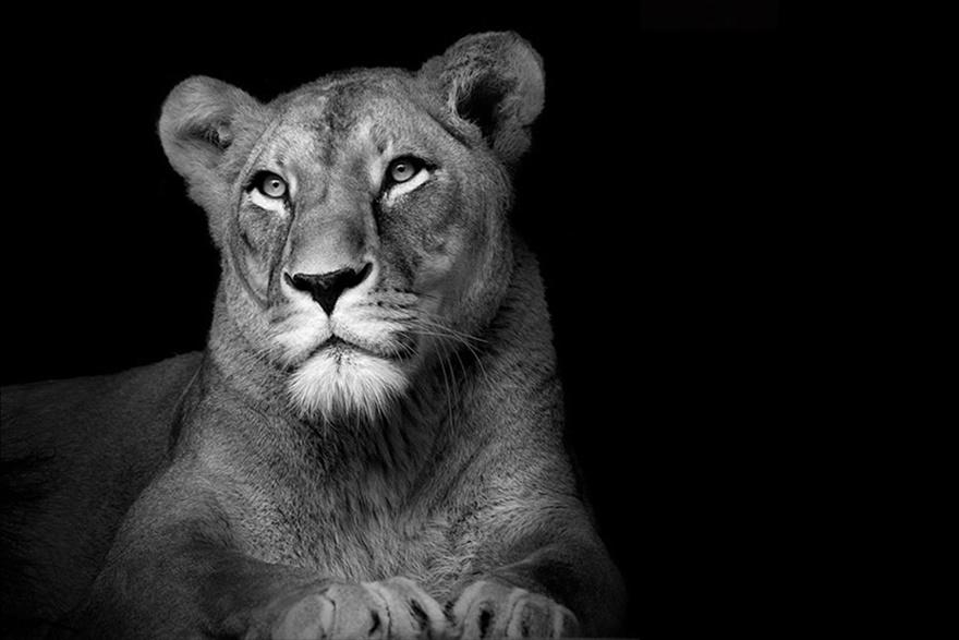 Лукас Холас. Черно белые портреты животных 0 1419c7 1e538726 orig