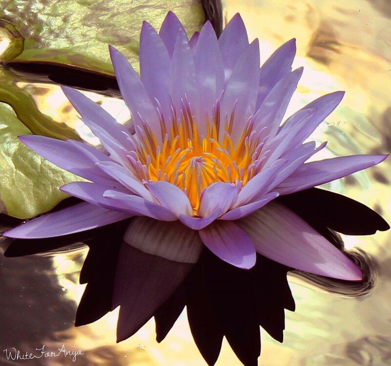 -гигантская водяная лилия