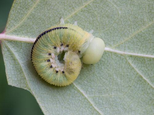 Cimbicidae - Булавоусые пилильщики Автор фото: Владимир Брюхов
