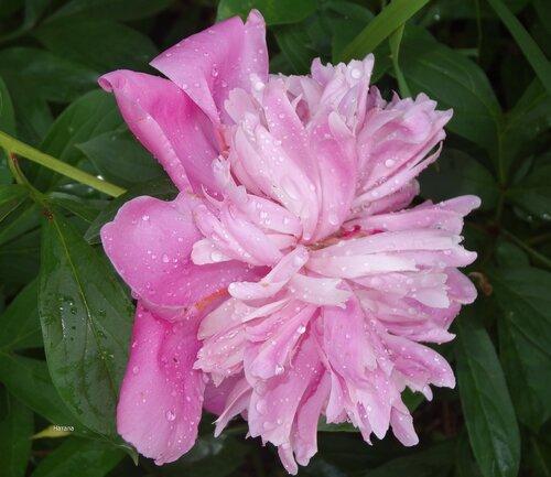Розовая нежность под дождем