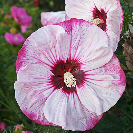Многолетние цветы, переносящие жару-Гибискус «Summerific Cherry Cheescake»