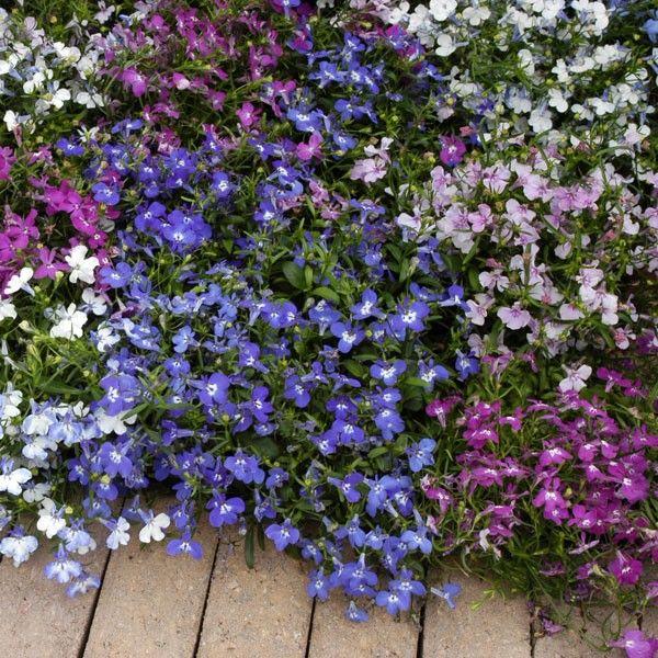 Многолетние цветы, переносящие жару-Лобелия однолетняя