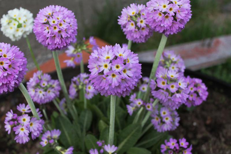 Какие цветы можно посадить под зиму - 24 многолетника-Примула