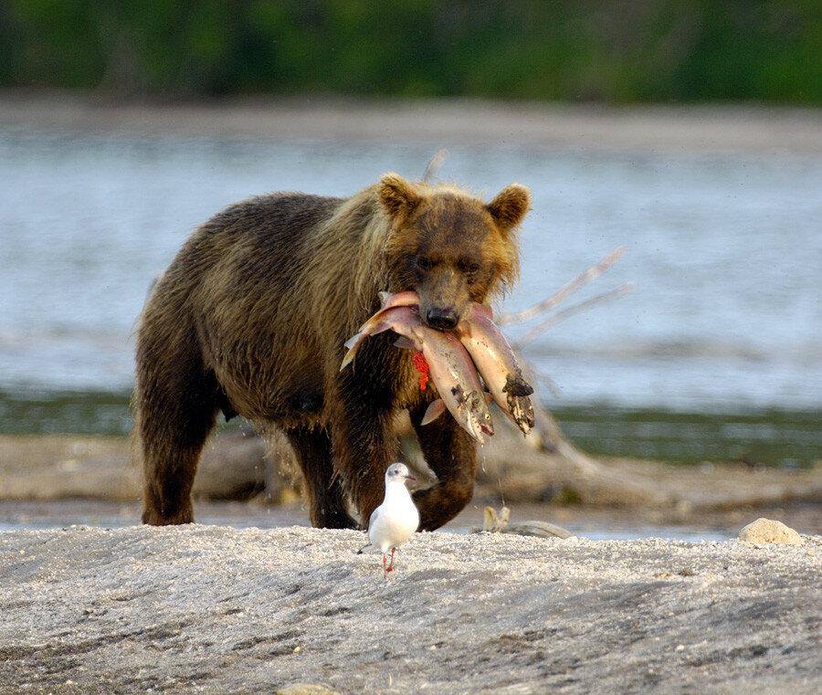 Two sockeye dinner Медведица поймала 2 нерки