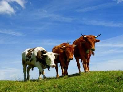 условия содержания коров
