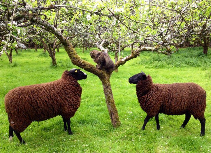 Кот пастух пасет овец