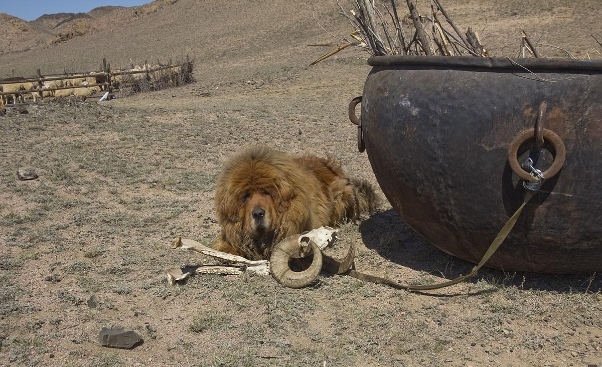 8. На охоте тибетского мастифа приравнивали к своре из 20 борзых и гончих — именно такая цена назнач