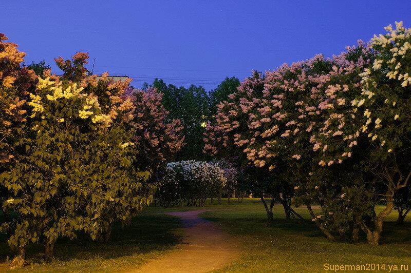 Сиреневый сад ночью