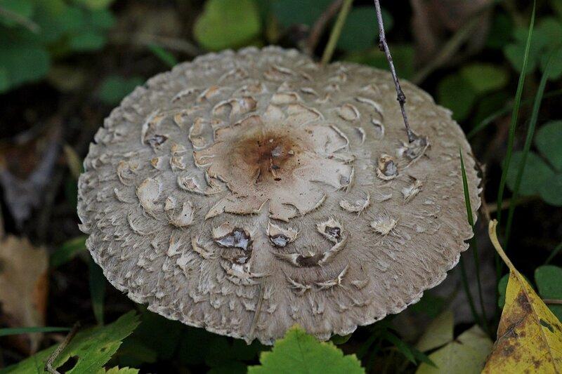 Гриб-зонтик краснеющий (Chlorophyllum rhacodes)