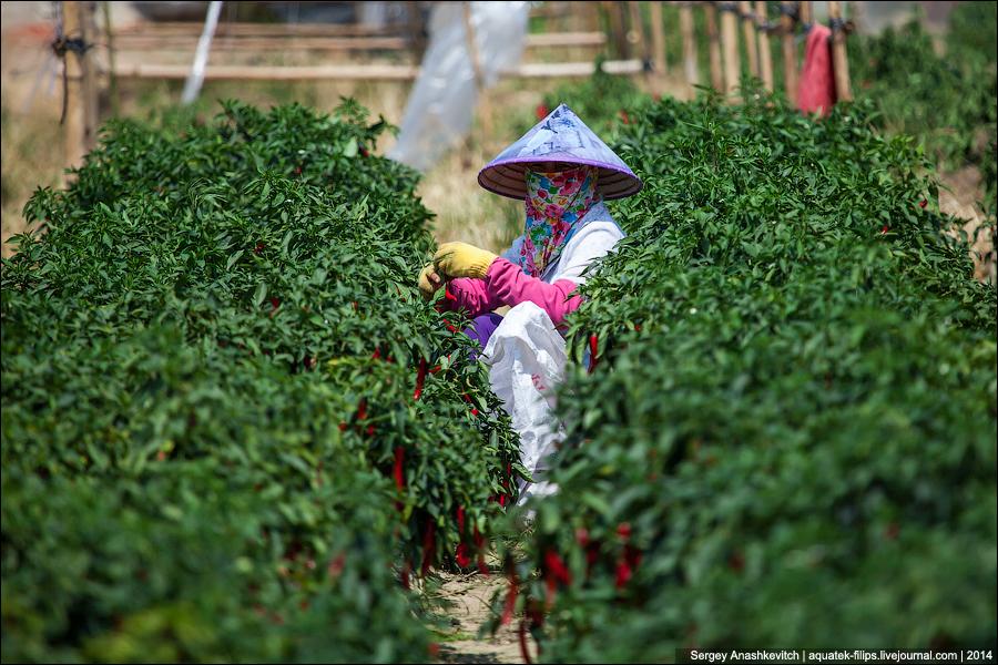 Плантация перца-чили  Китае
