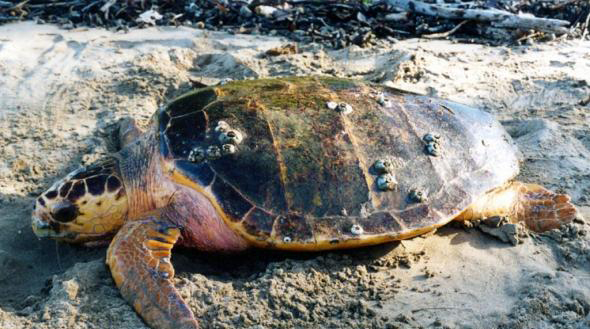 Тупоголовая черепаха