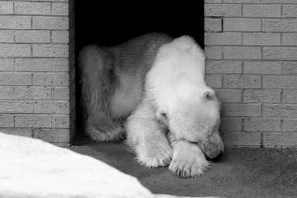 В Африке скончался последний представитель белых медведей