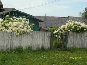 Цветёт гортензия
